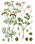 There are many garden herbs that can be easily grown, coriander is one of them!